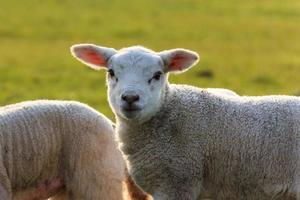 halo d'agneau mignon