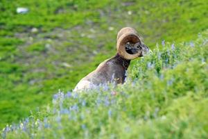 Ram bighorn sheep.