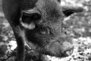 Wild boar in forest photo