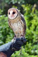 Australian masked owl photo