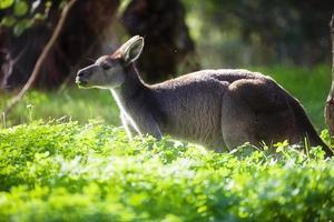 Serpentine Kangaroo 12 photo