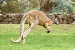 Male Red kangaroo jumping photo