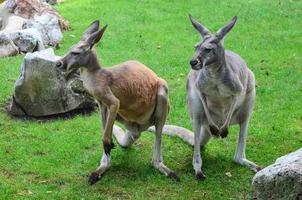 Kangaroos photo