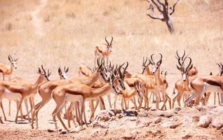 Large herd of Springbok