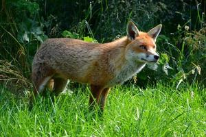 waiting fox