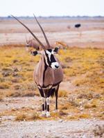 antilope gemsbok dans l'herbe jaune