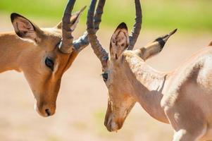 Impala butting heads