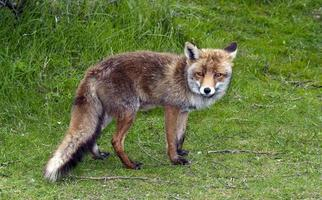 Wild red fox