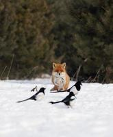 Red fox and magpies