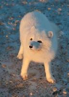 zorro ártico en la nieve foto