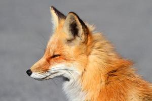 primer plano del zorro rojo (vulpes) foto