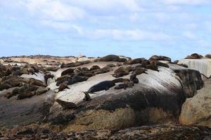 foche seal island foto