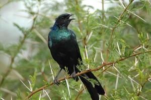 Burchell's Glossy Starling photo