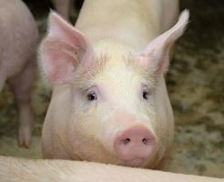 piglets at farm photo