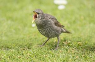 Starling, baby, standing on the grass,squawking for food