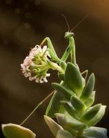 Mantis religiosa verde en flor sobre fondo marrón foto