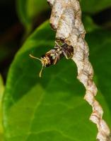 Wasp builds a nest photo