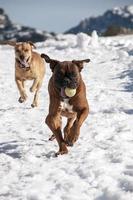 perros jugando foto