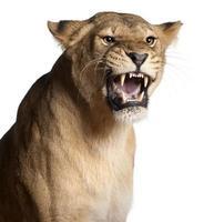 Una leona gruñendo sobre un fondo blanco. foto