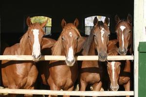 giovani cavalli color castagna in piedi nel fienile