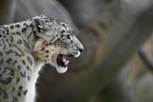 leopardo da neve rosnando