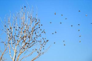 European starlings migrating south rest in a tree