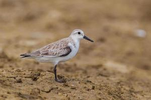 Side view of  Red-necked stint