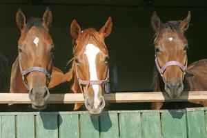 fattrici di sangue caldo di razza pura che guardano oltre la porta della stalla