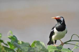 Asian Pied Starling on the tree