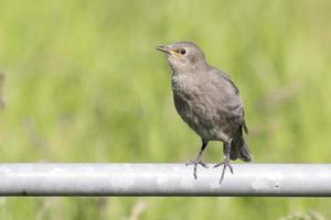 Juvenile European Starling (Sturnus vulgaris)