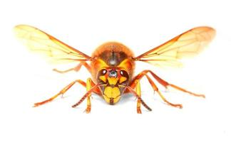 el avispón europeo (vespa crabro).