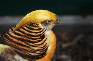Golden Pheasant Chrysolophus pictus photo
