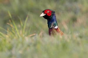 Common Pheasant photo