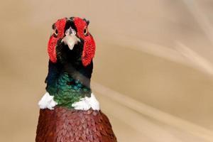 pheasant male closeup