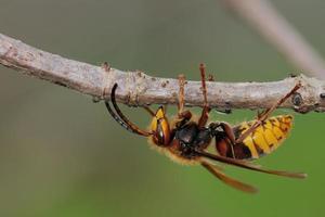 vespa crabro foto