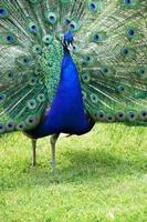 blue peacock beautiful with multi colored feathers