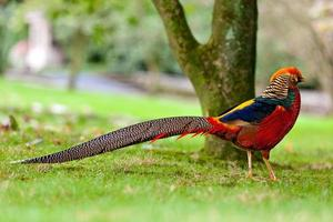 Chinese Pheasant photo