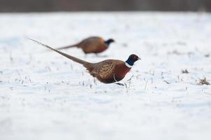 Two ring-necked pheasants in snow covered field