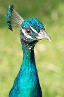 Portrait of a colorful male peacock (Pavo)