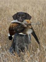 Close-up of hunting dog with dead bird in mouth
