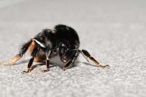 bumblebee on floor photo