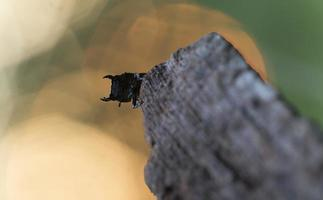 menor besouro de veado, dorcus parallelipipedus na madeira
