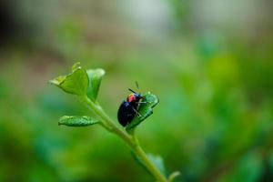 Rhino or Scarab Beetle on Green Leaf photo