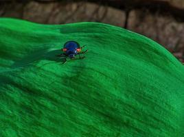 escarabajo azul oscuro