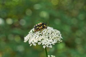 les coléoptères occupaient la procréation.