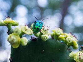Jewel beetle bug on the  flowers of Prickly pear cactus