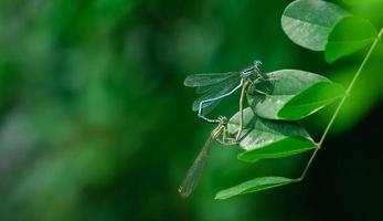 Mating dragonflies photo
