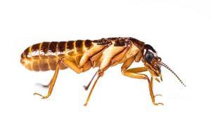 hormiga blanca de termitas aislado foto