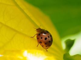 Ladybug on flower yeallow