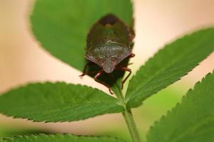 Beetle bug on green leaves photo